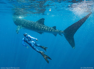 Freediving on Whale Shark Research & Photography with Aqua-Firma in Mexico - photo by Dr Chris Rohner Aqua-Firma / MMF