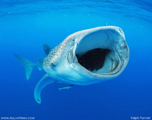 Whale-Shark-feeding-mouth-open-Aug'18-Ralph-Pannell-Mexico-Ocean-Giants-research-underwater-photography-mmf-AQUA-FIRMA.jpg