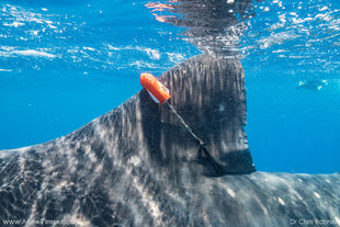 Satellite-Tag-Whale-Shark-Mexico-Research-Dr-Chris-Rohner-Marine-Megafauna-Foundation.jpg