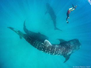 Whale-Shark-photo-ID-Dr-Chris-Rohner-reseearch-Marine-Megafauna-Foundation-MMF-underwater-photography-Dr-Simon-Pierce.jpg