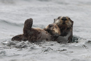 Kamchatka-Giant-Sea-otter-russian-far-east-wildlife-marine-life-poalr-arctic-cruise-holiday.jpg