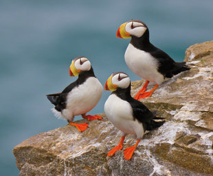 Horned Puffins, Russia, JERoss