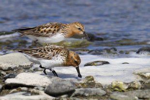 Spoon-billed Sandpiper in Russia, MKelly
