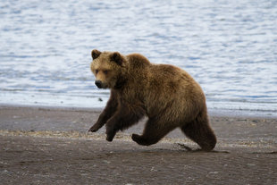 kovsyanikova-brown-bear-kamchatka-wildlife-marine-life-russian-far-east-voyage-holiday-cruise.jpg