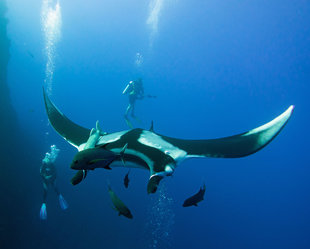 Diving with Giant Manta Rays in Socorro Islands, Mexico - Bob Dobson