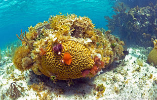 Coral Bommie & Christmas Tree Worms Snorkelling at Isla Mujeres, Yucatan Mexico Underwater photography by Ralph Pannell AQUA-FIRMA