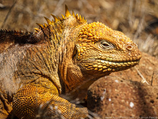 Land Iguana on North Seymour Island in the Galapagos Islands wildlife photography Dr Simon Pierce