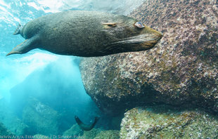 Swimming with Sealions in the Galapagos underwater photography by marine biologist Dr Simon Pierce