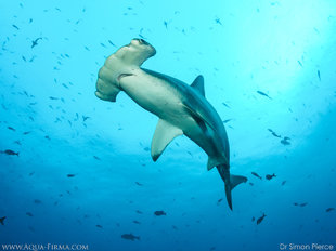 Hammerhead-Shark-Insights-scuba-dive-liveaboard-Dr-Simon-Pierce-Aqua-Firma-marine-biology-underwater-photography-sony.jpg
