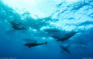 Scuba Diving with Dolphins Galapagos Islands Dr Simon Pierce Aqua-Firma dive liveaboard