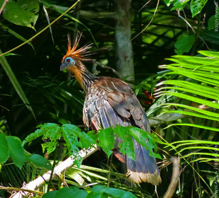 Hoatzin Birds are often seen in trees surrounding oxbow lakes and narrow Amazon rivers - photograph Ralph Pannell, Aqua-Firma
