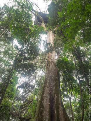 Canopy Tower in Kapok rainforest emergent tree - Ecuadorian Amazon
