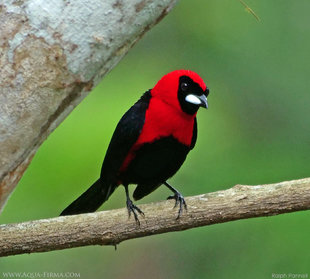Masked Crimson Tanager (Ramphocelus nigrogularis) in the Ecuadorian Amazon