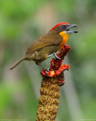 Scarlet Crowned Barbet (Capito aurovirens), Amazonian Ecuador - Ralph Pannell, Aqua-Firma