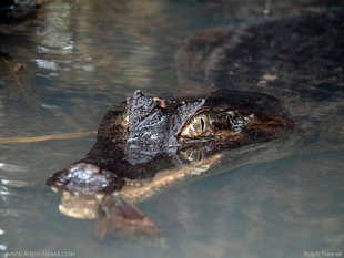 Spectacled Caiman Lying in Wait - Amazon Oxbow Lake - wildlife photography Ralph Pannell Aqua-Firma
