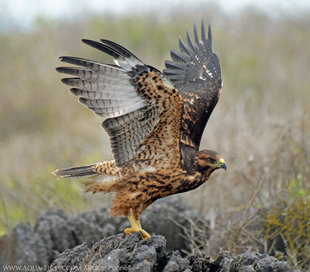 Juvenile Galapagos Hawk teaching itslef to fly - Espanola Islad, Galapagos - birdwatching photography Aqua-Firma (Ralph Pannell)