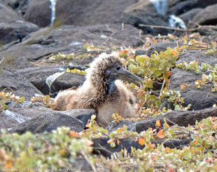 Waved Albatross chick on Espanola-Island, Galapagos - bird photography Ralph Pannell, Aqua-Firma