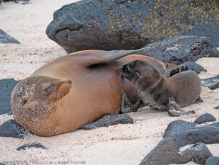 Newborn Galapagos Sealion suckling under the protective fin of mother - photograph by Ralph Pannell Aqua-Firma