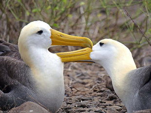 Waved Albatross courtship display - Espanola Island, Galapagos - birding and photography Aqua-Firma (Ralph Pannell)