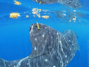 Satellite Tag on Whale Shark Dorsal Fin to track migrations - Photograph by Ralph Pannell Aqua-Firma