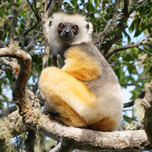 Diademed Sifaka Lemur within Rainforest Reserve part-funded by Aqua-Firma