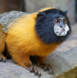 Golden-Mantled Tamarin (Saguinus tripartitus) - Amazon, Ecuador