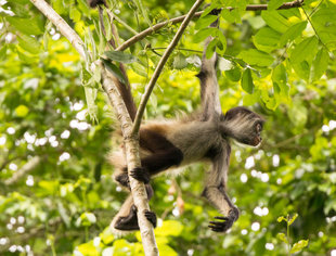 Spider Monkey in the Yucatan - photo Björn Köth