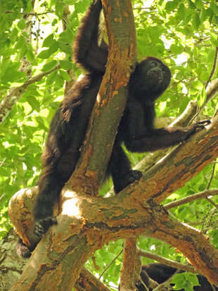 Black Howler monkey at Calakmul, Campeche State, Mexico