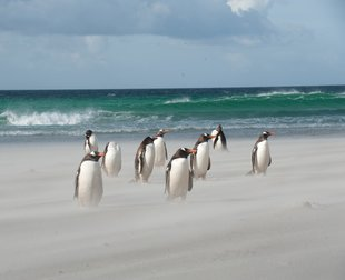 Gentoo Penguins on a Windy White Sand Falkland Islands Beach