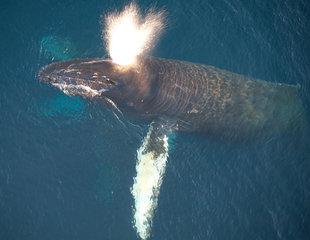 Humpback Whale in the Southern Ocean