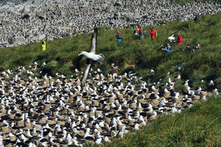 Black-browed Albatross Colony at Steeple, Jason Island in the Falklands