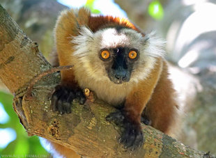 Female Black Lemurs are not very black at all!