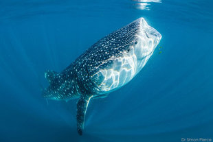 Whale Shark Surface Feeding at Mafia Island, Tanzania