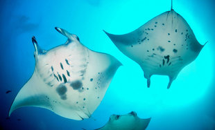 Dive with Manta Rays in the Maldives year round