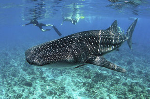 Snorkelling with Whale Sharks in the Maldives land based or dive liveaboard