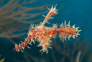 Ornate Ghost Pipefish in the Maldives