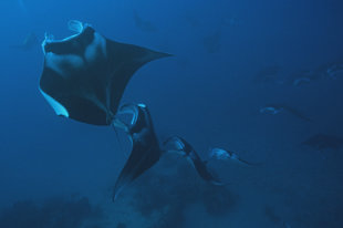 Dive with Manta Rays in the Maldives year round - U Kefrig