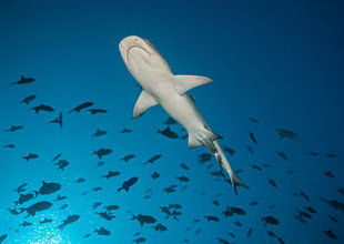 Maldives Dive Liveaboard in search of sharks in the central atolls