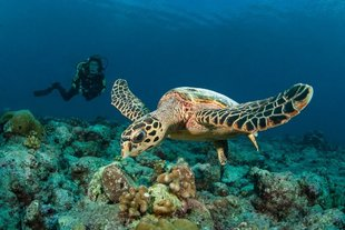 Diving with Turtles on Maldives Dive Liveaboard Central Atolls