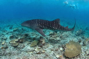 Snorkel with Whale Sharks on Maldives Dive Liveaboard in Search of Sharks Central Atolls