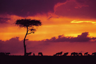 Wildebeest against a dramatic sunset in Kenya