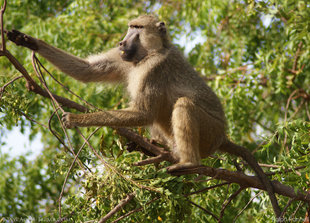 Olive Baboon in Tsavo East National Park - wildlife safari photography Ralph Pannell Aqua-Firma