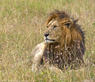 Alpha Male Lion in the Masai Mara Reserve wildlife photography by Shaowen Lin Aqua-Firma