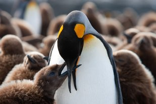 king-penguin-chick-being-fed-south-georgia-voyage.jpeg
