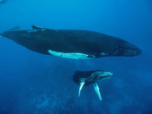 silver-banks-mother-and-calf-humpack-whale-watching-snorkelling-snorkel-voyage-liveaboard-cruise-vacation-underwater-photography-caribbean-dominican-republic-bjoern-koth.jpg