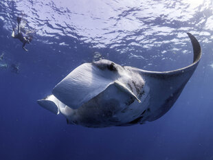 A potential 3rd species of Manta Ray: the Atlantic Giant Manta