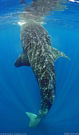 Whale Shark stationary at the surface as it feeds vertically - photo: Ralph Pannell