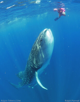 Whale Shark rising to the surface to feed vertically