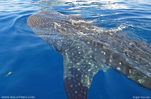 Whale Shark swimming beneath our research boat in Mexico