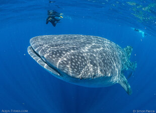 Swimming with Whale Shark Mexico research